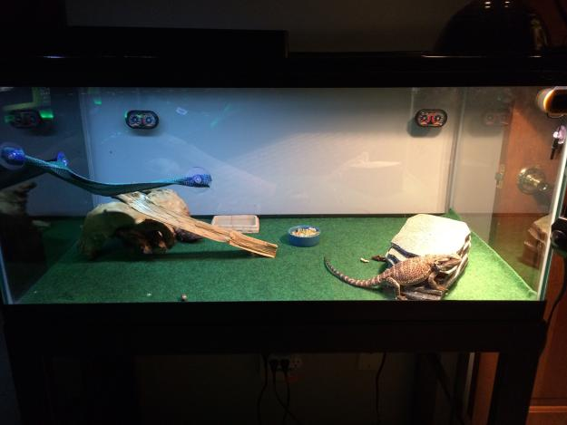 Is This Normal Bearded Dragon Org