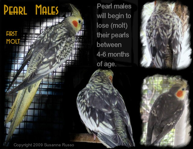Male-pearl-molting-ILLUS.jpg