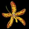 LeopardOrchid.png