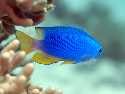 Small Blue Tropical Fish Minecraft Mob Skin