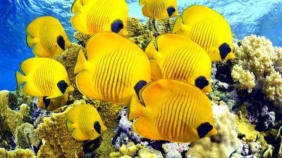 Yellow Striped Tropical Fish Minecraft Mob Skin
