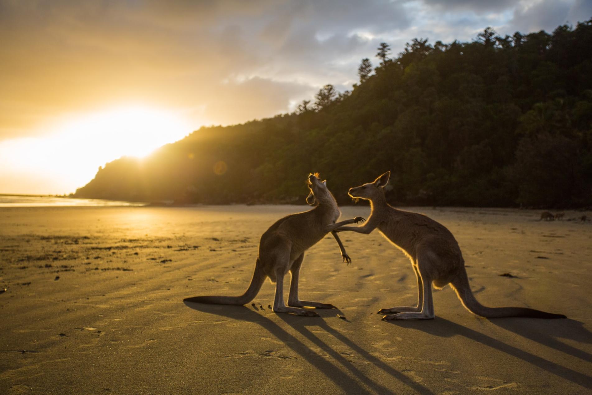 Kangaroo by Austin Elder from Unsplash
